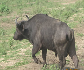 Buffalo, Queen Elizabeth National Park, Uganda